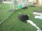 5 juin 2013 (2) : 6 semaines (femelles marron et bleue)
