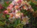 Balade matinale .....Fleurs de Thailande