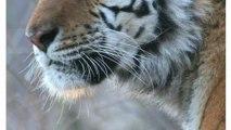 Dog Distemper Virus Threatens Rare Tigers