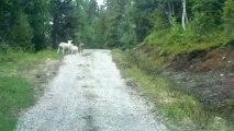Un loup attaque des moutons en Norvège