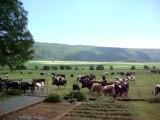Dombresson vaches 17.06.2013