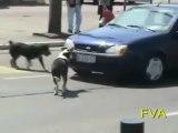 crazy dog (chien fou qui arrache une plaque d_immatriculation)