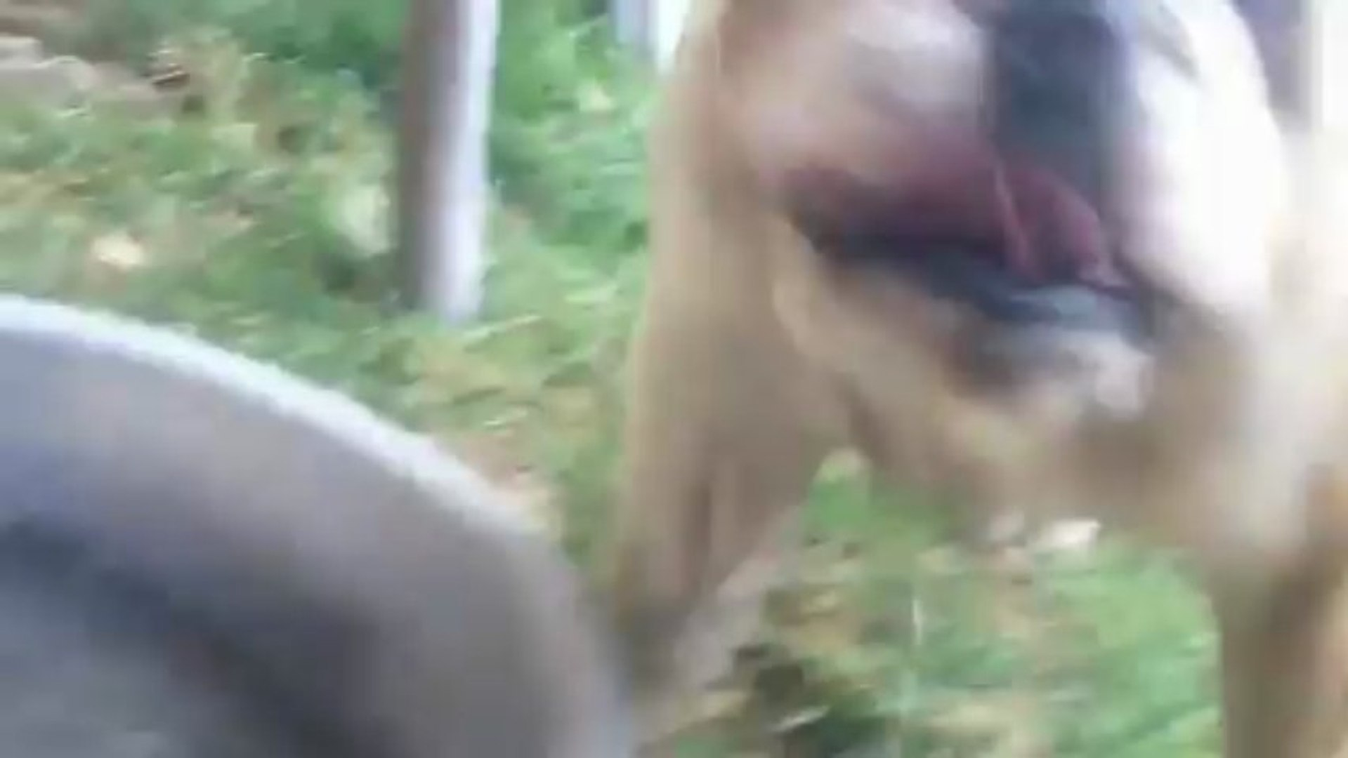 XXX English Bull Dog -playing and then attack me-