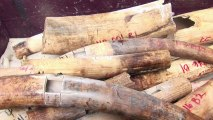 Cinq tonnes de défenses d'éléphants détruites aux Philipinnes