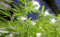 Drugs Inc Cannabis