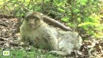 La Montagne des Singes (le macaque de Barbarie)