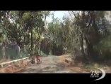 India, leopardo entra nel palazzo e si porta via cane da guardia. Immagini telecamere di sorveglianza di una residenza a Mumbai
