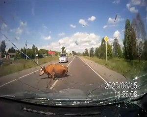 Choc : une voiture percute une vache sur la route !