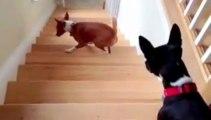 Ce chien ne sait pas monter un escalier... trop drôle!