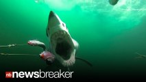Raw Video GREAT MAKO SHARK ATTACK, EAT AND SWALLOW MAN