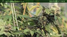 When To Harvest Weed Marijuana Growing - Cheap Marijuana Seeds