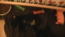 18. Chiot staffordshire bull terrier vidéo18 de la 12ème portée de STAFFORDLAND