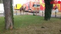 Arrivée du cirque Zavatta à Saint-Malo
