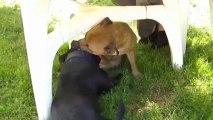 22. Chiot staffordshire bull terrier vidéo 22 de la 12ème portée de STAFFORDLAND