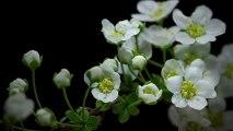 Spectaculaire vidéo de fleurs image par image accélérées !! Botanique en HD !!