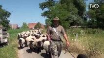 Transhumance de moutons et d'ânes