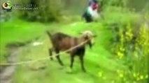 Les chèvres hurlent comme les humains