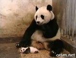 Le bébé panda qui éternue.. Un classique de la vidéo mignonne d'animaux, mais c'est tellement bon !!