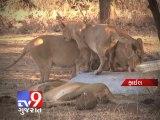 Tv9 Gujarat - Six Asiatic lion died in 6 months ,Junagadh