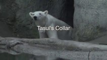 Camera On Polar Bear Collar Offers Bear Point Of View.