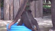 Un Bébé éléphant joue dans une piscine gonflable - Trop mignon