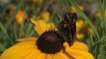 La moitié des papillons des prairies européennes ont disparu