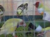 Mes oiseaux se régalent avec des pousses de graines (bis)