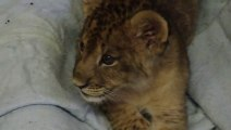 Un lionceau pousse ses premiers rugissements... Trop mignon le petit bébé animal!!!