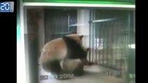 Du Panda porn pour les pandas de Chengdu