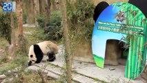 Réintroduction de pandas dans la nature à Chengdu 1