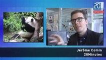 Les pandas, qui sont-ils, quels sont leurs réseaux?