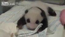 Un bébé panda rencontre sa mère pour la première fois.... Zoo de Taipei