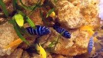 aquarium de cichlidés du lac Malawi, avec roches aquaroche