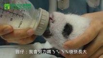 Le bébé panda géant trop mignon du Zoo de Taiwan!!