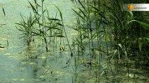 Zones humides artificielles : une solution contre les micropolluants ?