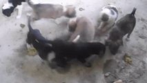 Puppies Adina