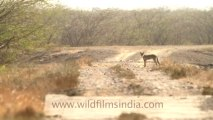 1990.Wolf (Canis lupus) in India