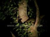 2753.Civet cat on a Ficus tree!