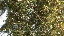 2880. Rare Mottled Wood Owl at Bandhavgarh