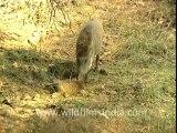 2945.Boar eats fellow boar in Sariska!