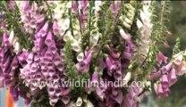 Flowers in bhutan-MPEG-4 800Kbps