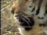 Tiger (close up)-MPEG-4 800Kbps-MPEG-4 300Kbps