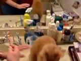 Chat qui aime bien se brosser les dents