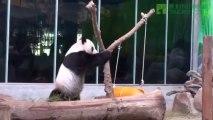 Amazing TaiPeii zoo  Panda : What does father Tuan Tuan do?!