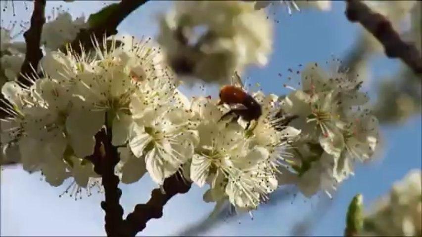 Osmia cornuta pollinisation de cerisier et prunier