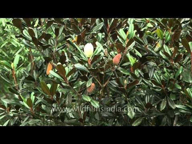 Budding flowers of a Magnolia tree , Uttarakhand