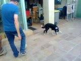 Tsar le chien footballeur : il joue au ballon avec ses pattes avant et sa tête