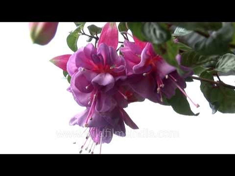 Rich colours of Fuchsia flower
