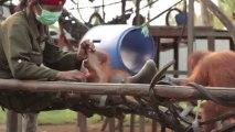 Rickina, le bébé Orang-outan le plus beau et mignon jamais vu! Cute!!!