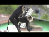 Doing it in the rain: Kerala's Lion tailed Macaques!